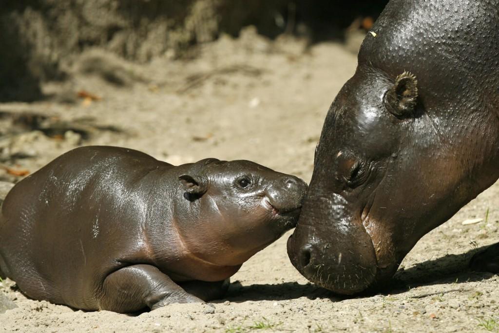 filhote de hipopótamos acariciando sua mamãe