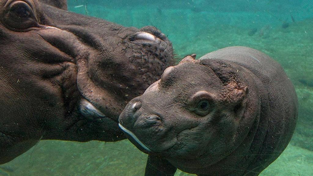 filhote de hipopótamos dentro d'água com mamãe
