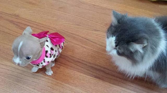 pit bull sacha ao lado de um gato