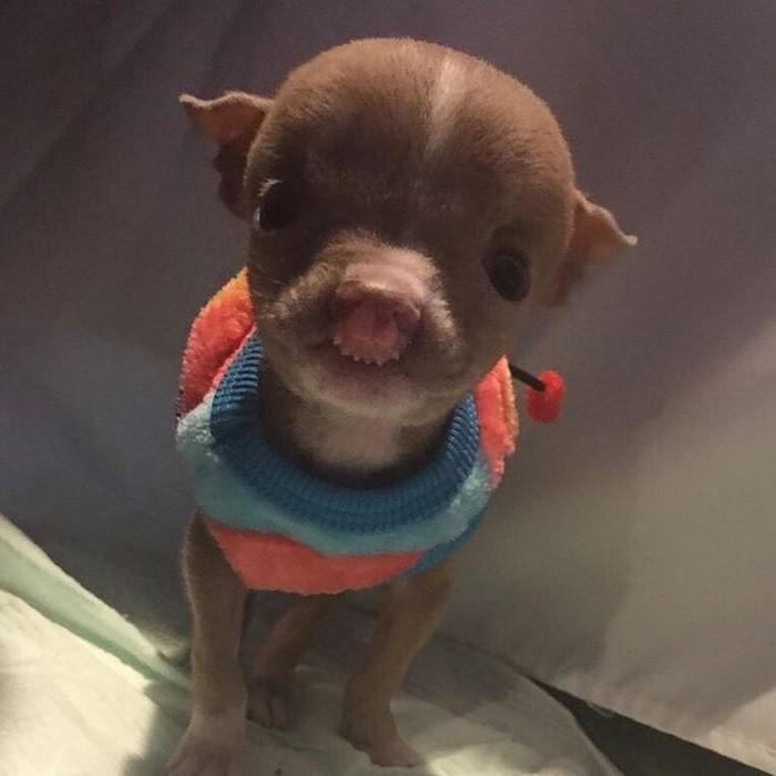 pit bull com deformação 0