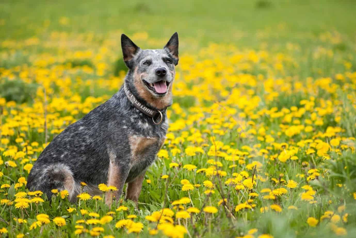 Cachorro Boiadeiro