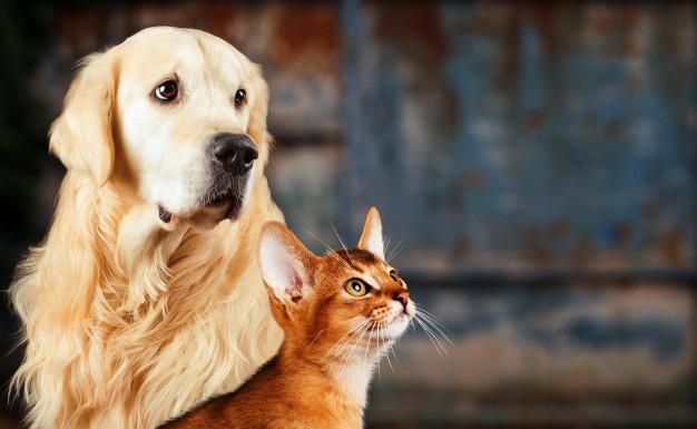 gato-e-cachorro-gato-abissinio-golden-retriever-junto-no-colorido-enferrujado-humor-ansioso-triste_147970-16-9495315