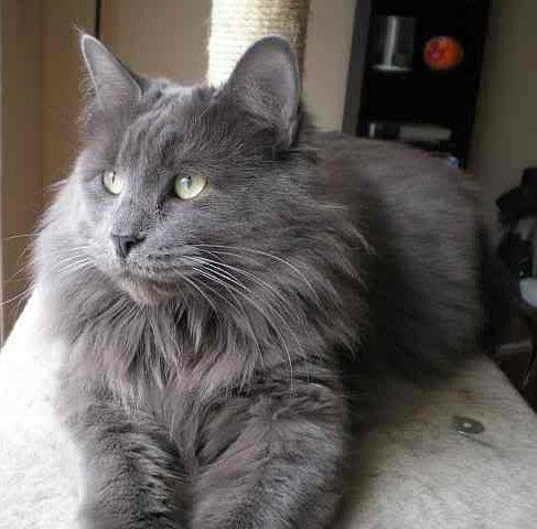 Raça – gato nebelung