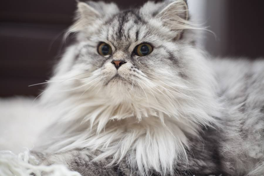 maine-coon-4015516-2702399
