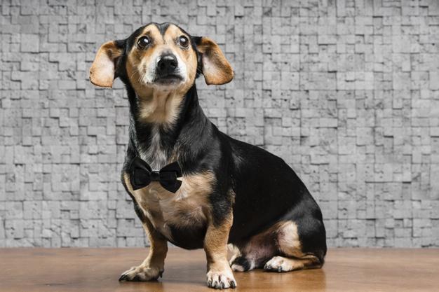 Como fazer gravata para cachorro
