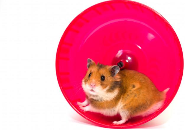Hamster  – como escolher e cuidar bem