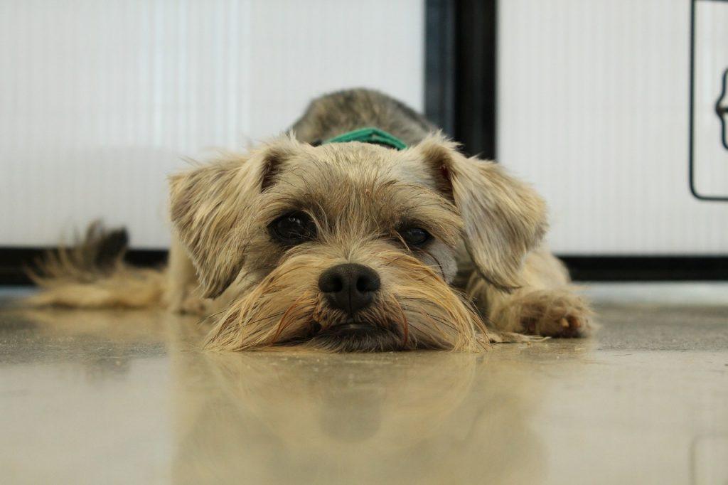 Entendendo o resgate e a adoção de cães