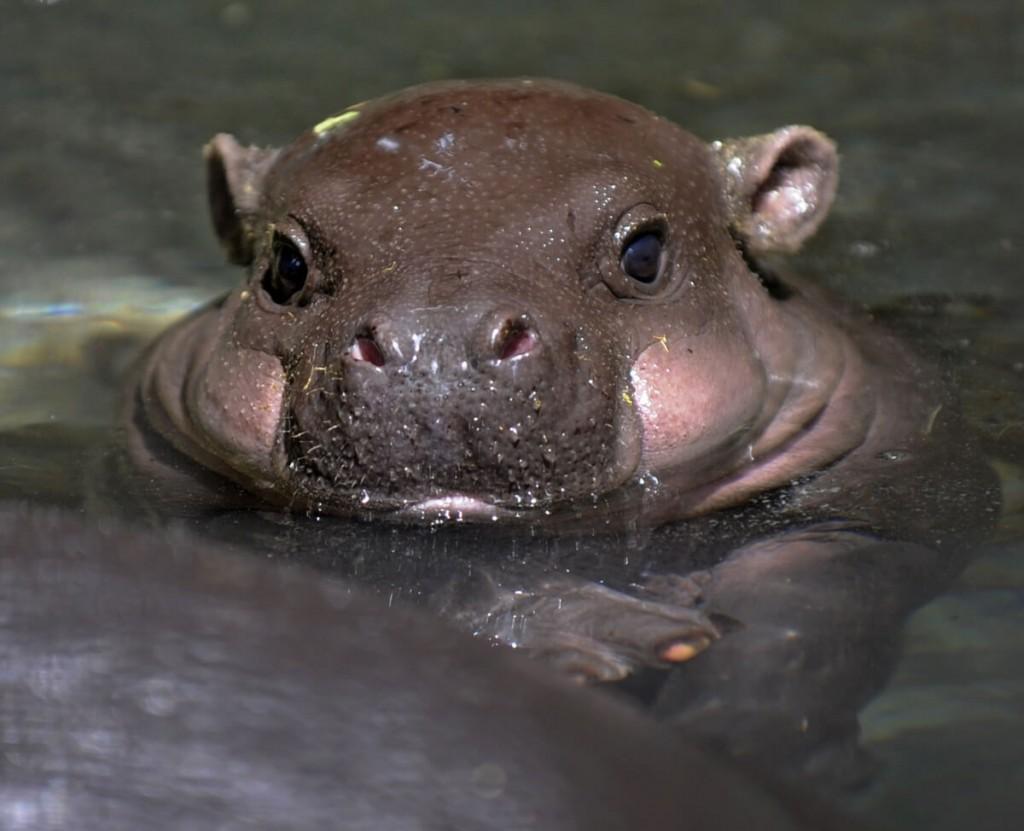 filhote de hipopótamos dentro d'água