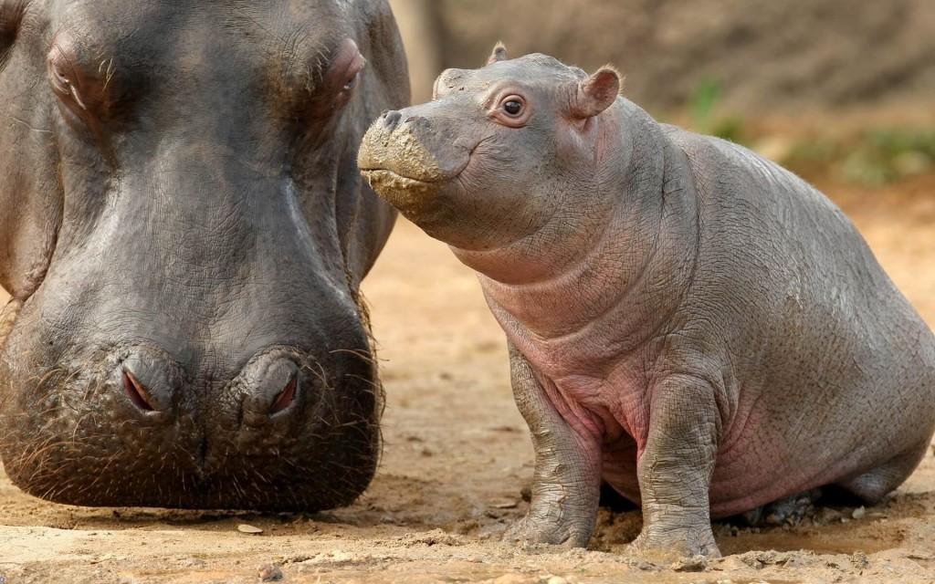 filhote de hipopótamos ao lado da mamãe
