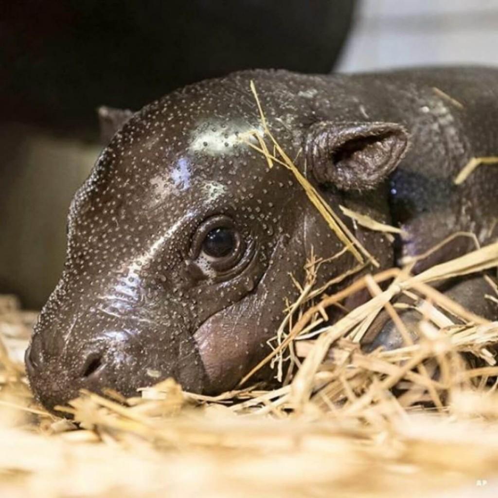 filhote de hipopótamos deitado