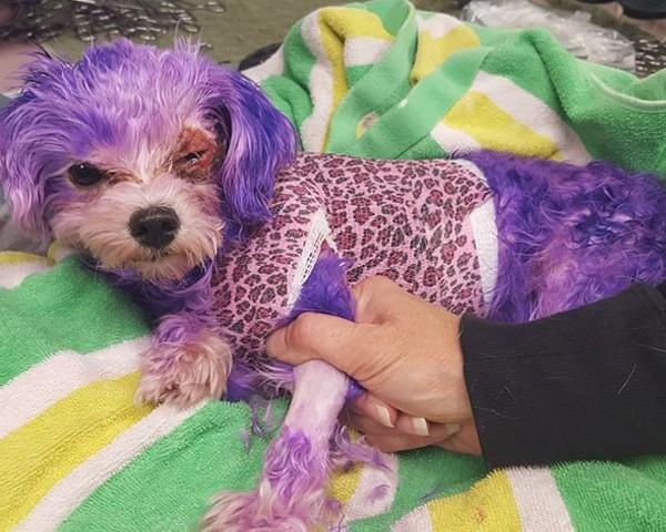 cachorro sofre queimaduras após seu dono pintar os pelos de roxo