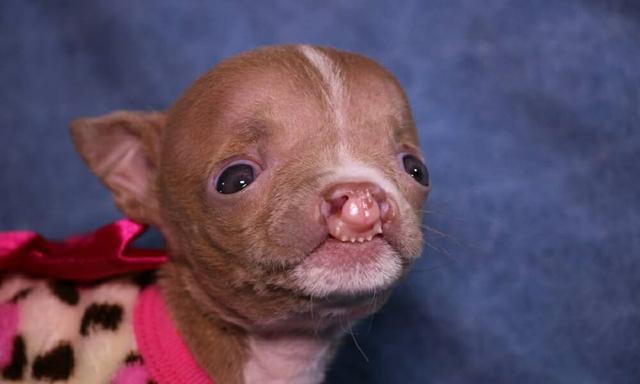 pit bull sacha com deformação no focinho