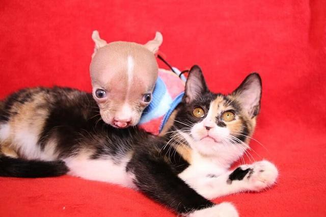 pit bull sacha com deformação no focinho em cima de um gato