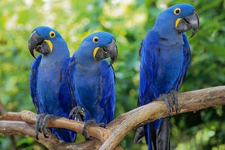 Arara azul 5819232 3933190