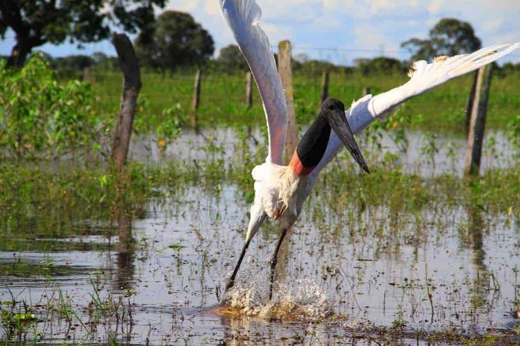 animais do pantanal_3