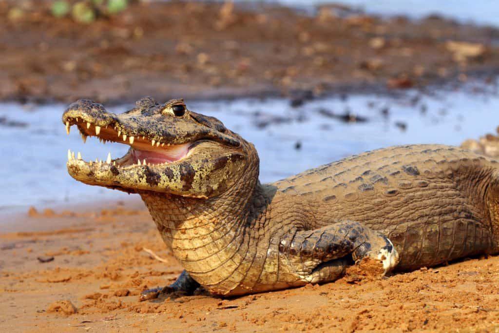 animais do pantanal_4