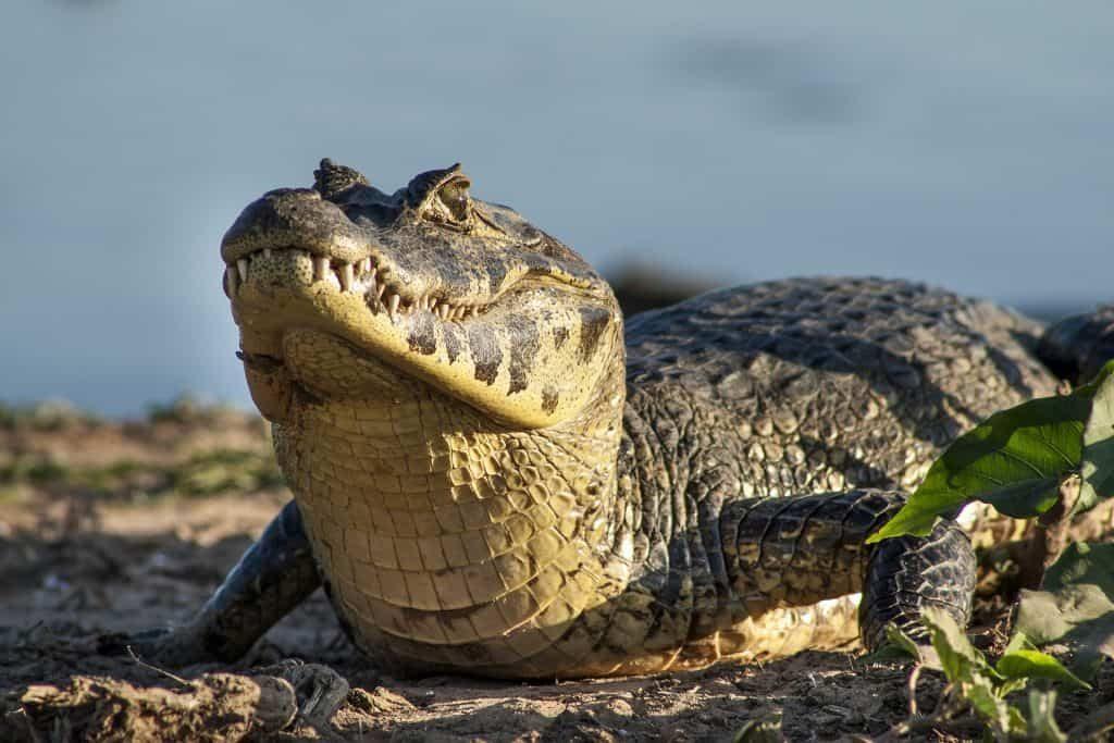 animais pantanal_9