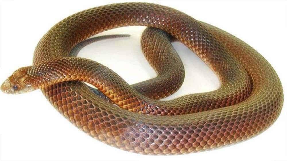 Cobra Marrom 2960536 2341281