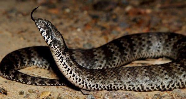 Cobra da morte tipos de cobras 1365933 1158362