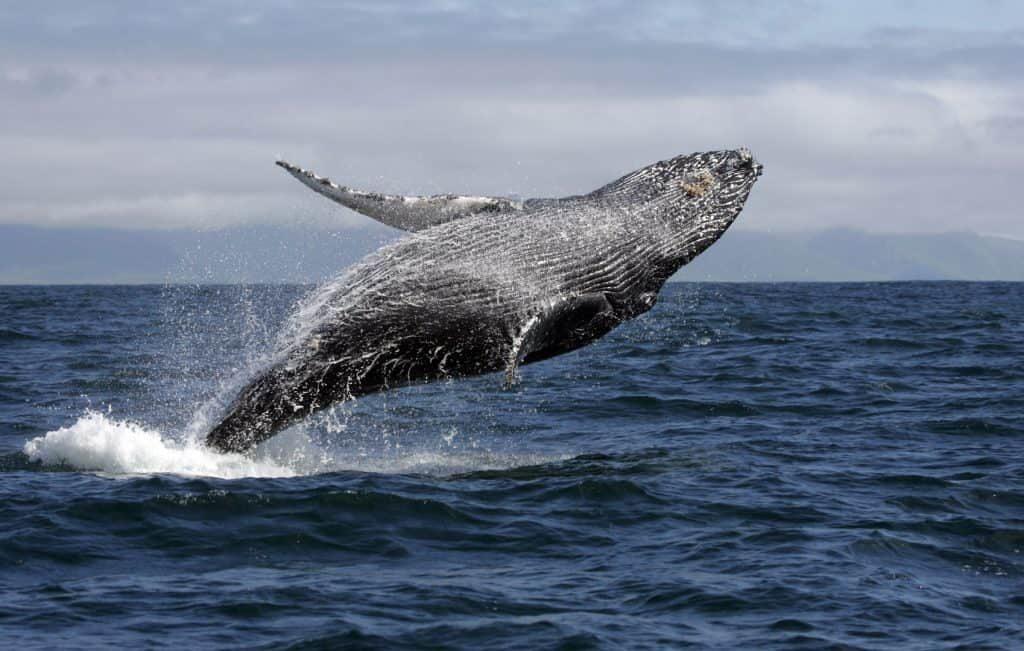 baleias jubarte 3255696 9962545