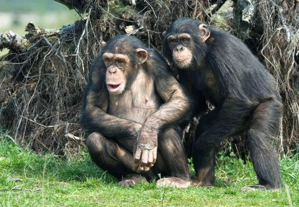 chimpanze-11497147-1000x692-7168108-2315945-9781176