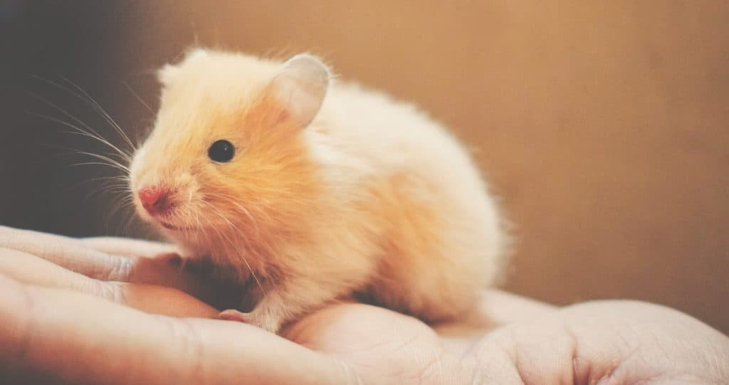Hamster na palma da mao