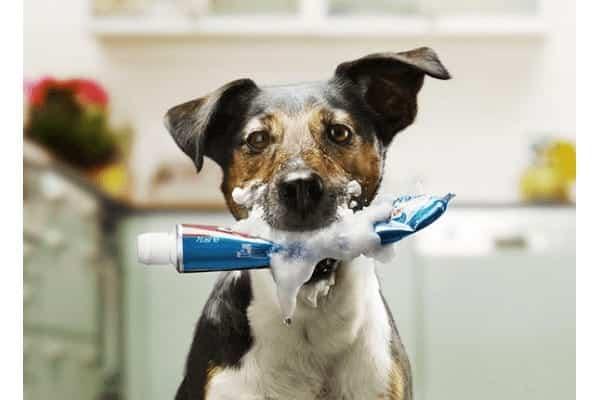 Como escovar dentes de cachorro