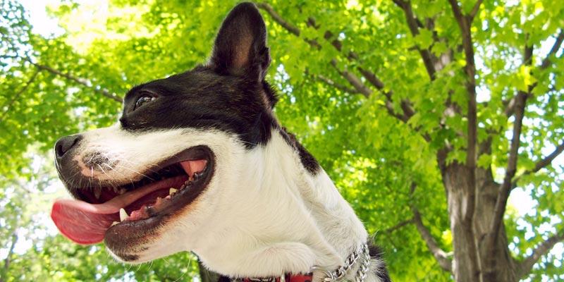 Como acabar com mal halito de cachorro CASEIRO